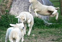 Animals: Farmlife / by Jolanda van Pareren