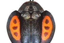insectus esteticus