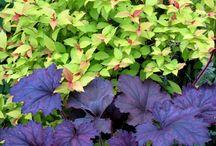 Foliage Interest / Colored foliage - cold tolerant
