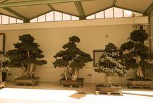 L'arte del bonsai: ecco le nostre specie / Alcuni bonsai dell'azienda Florpagano, di A. Pagano www.florpagano.com