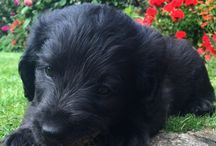 Oscar puppy!!! / My handsome Labradoodle puppy, totally in love ❤️