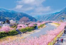 Check out the earliest flowering cherry blossoms in Japan's Kanto region, Kawazu-zakura!