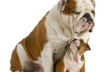 perros / pastor aleman y bulldogs