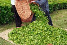 Tea Harvest / Azores