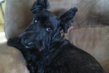 Scottie Dogs and other pets / I have to scottie's Maggie & Molly,love them to bits / by Carol Dols
