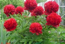 Сад Цветы Пионы