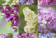 lilac / Flieder