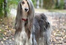 Afghan ♥ Hounds / by ღ Sharon Collins ღ