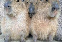 kapibara / vyzerá ako osmák degu.