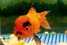 金魚、メダカ