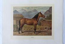 Stampe Antiche Cavalli