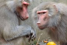 Adult Hamadryas Baboons / http://babybaboons.webnode.hu/ (Adult and Juvenile Hamadryas - or Sacred - Baboons)