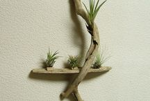 air plants and driftwood