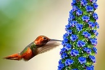Contributers hummingbird photos / Please pin hummingbird photos to this board.If you have not been invited and want to participate in this board..just ask by leaving a message ..include your Pinterest account handle (account name) and we will add you as a guset pinner.You can also ask me via my website http:www.hummingbird-guide.com  INVITE YOUR FRIENDS