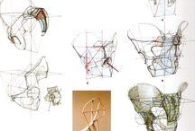 Anatomy - Pelvis