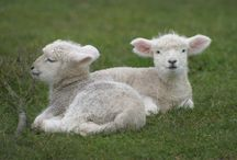 I love sheep and an occasional angora goat / by Judy Schlager