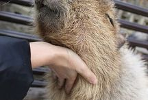 so cute capybas
