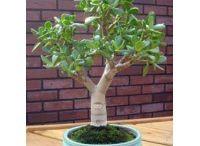 Buy bonsai plants in bangalore / Buy plants in bangalore,Plant nurseries in bangalore,Gift a plant online in bangalore,Buy plants online in bangalore,Send plants online in bangalore,Buy bonsai plants online in bangalore