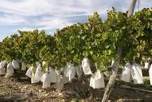 Viñedos con uva embolsada