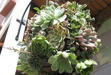 Succulent / Succulents