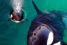 orca !❤