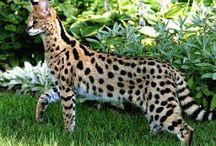 Serengeti / Cat
