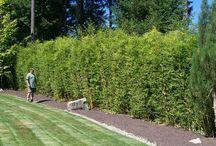 landscaping hedging