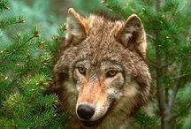 Wolves - true love