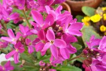 ARABIS / Varieties and Colours