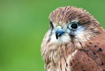 BIRDS. of PREY