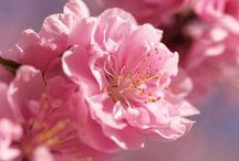Blossom / Bloesem / Blossom bloesem pink white love it