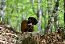 Bavorsky farbiar / Hunting dog
