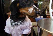 Dachshund / Dachshund - especially dapple dachshund
