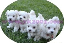 Maltese Teacup Terrier