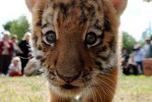 Animal - baby tiger