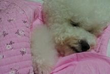 For the Love of Bichons