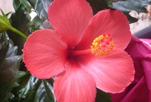 Jardín Flores Hibiscus