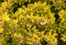 Beautiful Barberry / Barberries are great foundation plants for your garden and they come in an array of shapes and sizes. They're also pretty cold hardy and easy to care for.