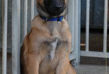 Honden / Alles rond Mechelaars