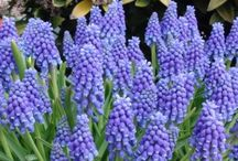 Grape Hyacinth Bulbs / Welcome to Queen Flowerbulbs - the right place for the best quality flower bulbs. Our experts have put together a number of magnificent collections from our special and extensive range of bulbs. Enjoy browsing through our site and find out why we are so proud of our Queen!