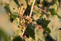 ✻ Vins ✻ Vignobles