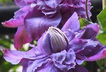 Лианы для сада / Вьющиеся цветущие растения