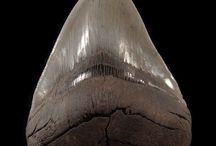 Megalodon Shark / Megalodon, a 60 foot giant - the largest shark that ever lived. The terror of the Miocene and Pliocene seas. See a fantastic selection of Megalodon teeth. One of my favorite fossils!