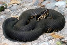 My study of snakes I have wrangled