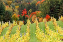Michigan Wineries and Wine / With more than 92 wineries situated within 14,600 acres of scenic vineyards, Michigan is also wine country. Here's a look at Michigan's thriving wine industry.