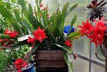 Bladkaktus og orkidekaktus