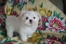 Puppies soon! / by Elizabeth Forrest