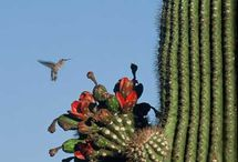 Desert - Saguaro