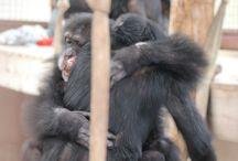 Precious Primates / Great Apes & Monkeys  / by Keys4Education