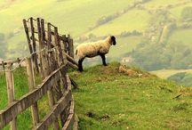 owce barany